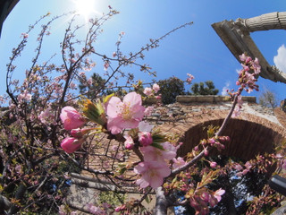 魚眼で撮る河津桜